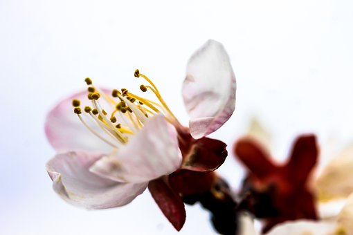 Flower, Blood Plum Blossom, Plant, Nature