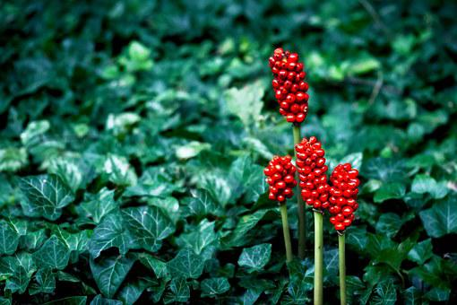 Nature, Plant, Flower, Red, Ivy, Green, Blossom, Bloom