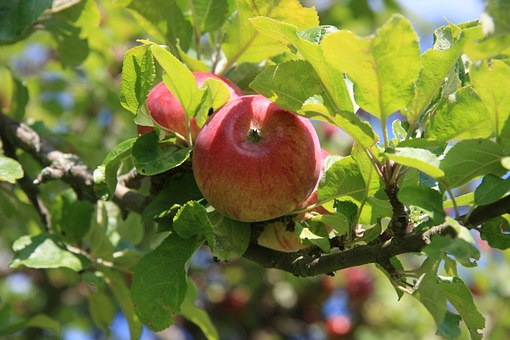 Apple, Leaf, Tree, Summer, Red, Green, Culture, Bio