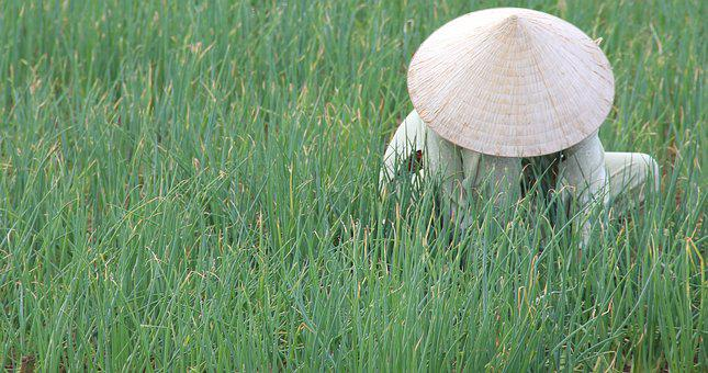 Vietnam, Hoian, Rice Fields, Conical Hat, Indochina