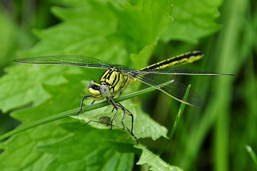 Dragonfly, Insect, Water, Predatory Insect, Prey
