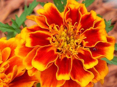 Annual, Marigold, Plant, Yellow, Garden, Flower