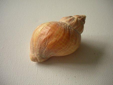 Seashell, Shell, Beach Shell, Macro, Whelk, Snail Shell