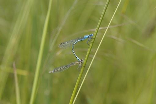 Dragonfly, Males, Insect, Small, Blue, Bins Dragonfly