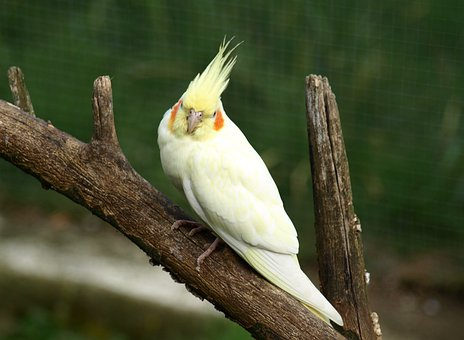 Cockatiel, Parakeet, Bird, Yellow
