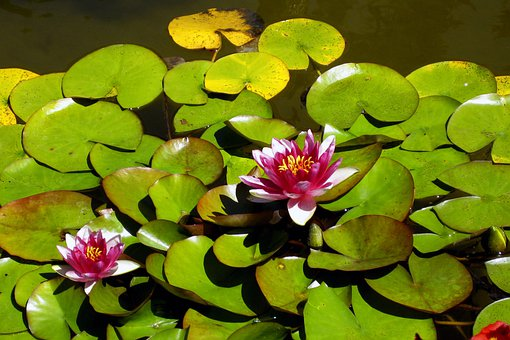 Water Lilys, Water, Flower, Blossom, Butchards Garden