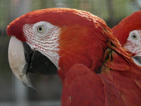 Green Macaw, Parrots, Dark Red Ara, Colorful, Color
