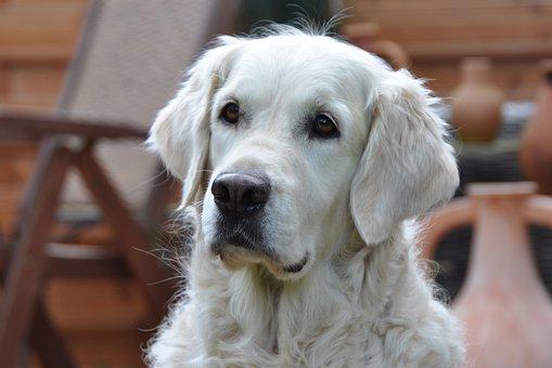 Golden Retriever, Dog, Golden Retriever Head