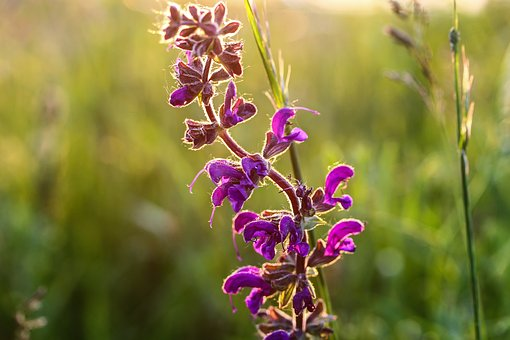 Salvia, Purple Flower, Meadow, Field, Plant, Nature