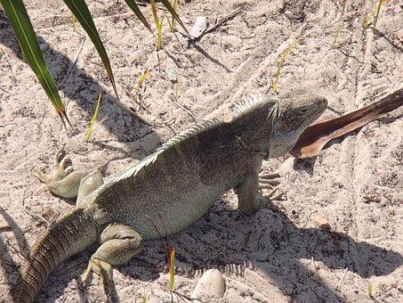 Iguana, Iguana Island, Turks And Caicos, Lizard
