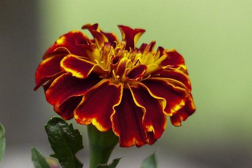 Marigold, Tagetes, Orange, Yellow, Blossom, Nature