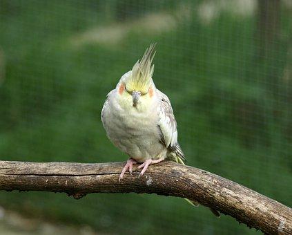 Cockatiel, Parakeet, Bird, Nymphicus Hollandicus