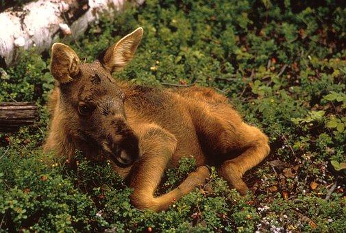 Moose, Calf, Young, Animal, Mammal, Wildlife, Plants
