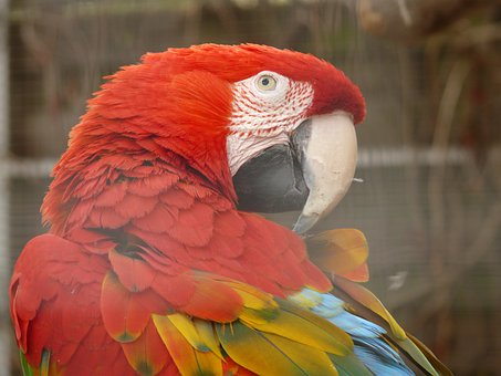 Green Macaw, Parrot, Dark Red Ara, Colorful, Color, Red