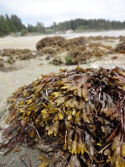Seaweed, Ucluelet, Vancouver Island, Beach, Bc, Canada