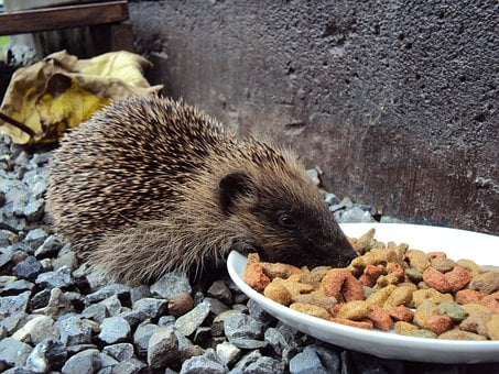 Hedgehog, Food, Kibble, Pebble, Beast, Animal, Spines