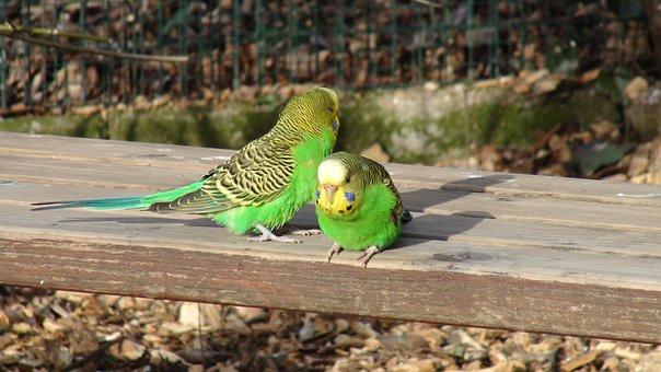 Budgie, Bench, Green Parrot, Birds