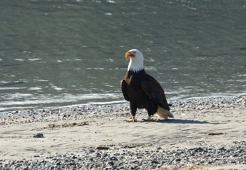 Bald Eagle, Beach, Bird, Wildlife, Animal, American