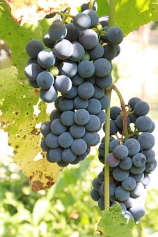 Grapes, Cluster, Grapevine, Fruit, Wine, Harvest