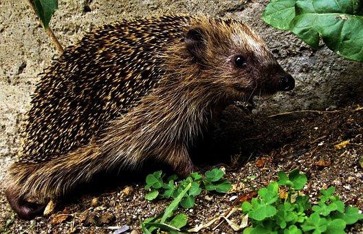 Hedgehog, Smiling Hedgehog, Garden, Camouflage, Cute