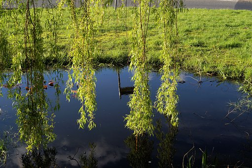 Pasture, Salix Caprea, Hanging Branches, Leaves, Green