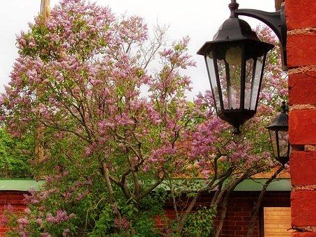 Lantern, Lilac, Spring, Wall, Plant, Bloom