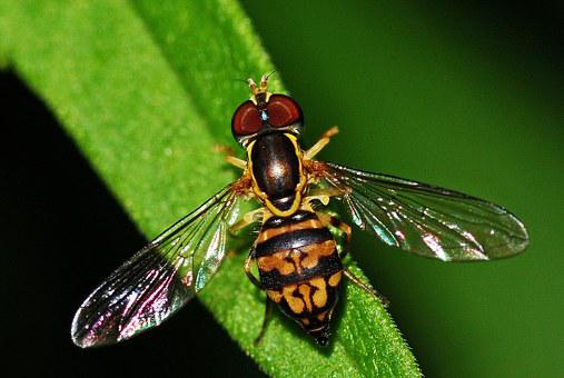 Hoverfly, Insect, Syrphid, Macro, Invertebrate, Fly