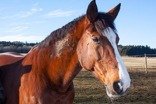 Horses, Animals, Domestic Solipeds, Mammal