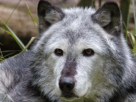 Timber Wolf, Wolf, Animal, Mammal, Canine, Nature