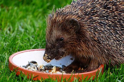 Animal, Mammal, Hedgehog, Erinaceus, Meal, Lining Plate