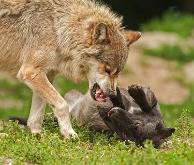 Wolf, Predator, Prey, Fight, Attack, Tooth, Paws, Teeth