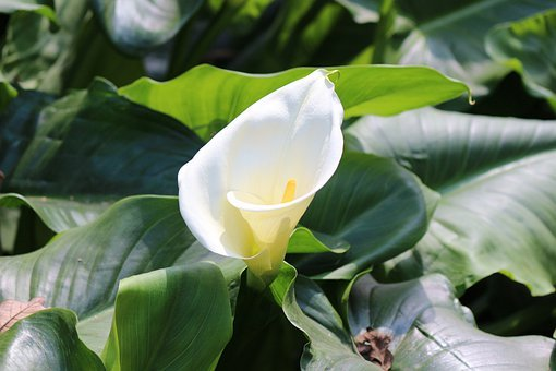 Calla, Lily, Flower, White, Easter, Nature, Blossom