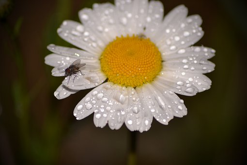 White, Daisy, Flowers, Fly, Insect, Sitting, Dewdrops