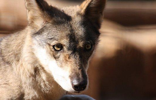Fox, Face, Portrait, Wolf, Wild, Head, Fur, Canine