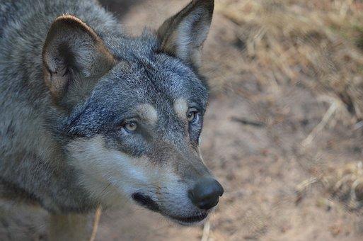 Wolf, Wolf Head, Wild Animal, Predator, Bad Wolf