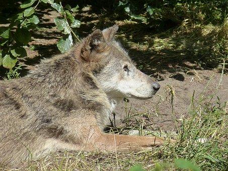 Wolf, Zoo, Animal World, Mammal, Animal, Enclosure