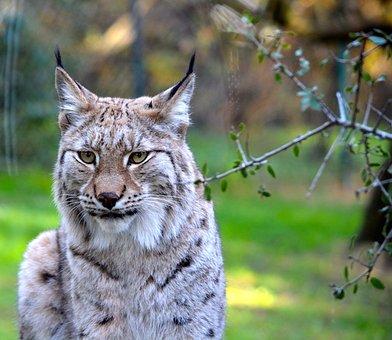 Lynx, Animal, Zoo, Nature, Felines