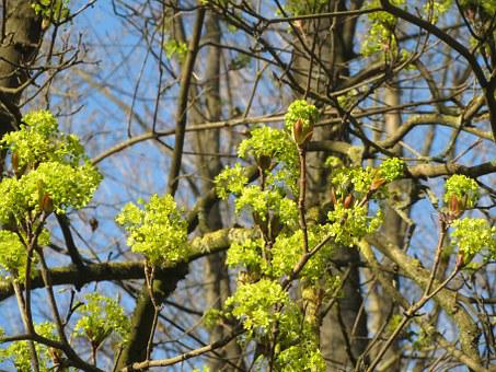 Acer Platanoides, Norway Maple, Tree, Inflorescence