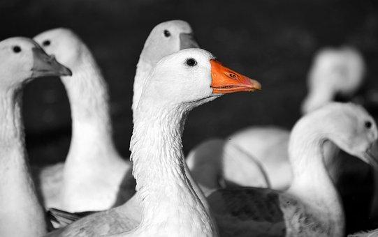 Geese, St Martin's Goose, Goose, Bird, Animal