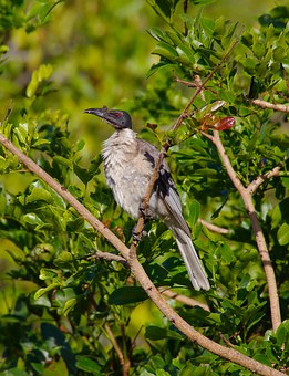 Friar-bird, Bird, Beak, Bill, Unusual, Grey, Australian