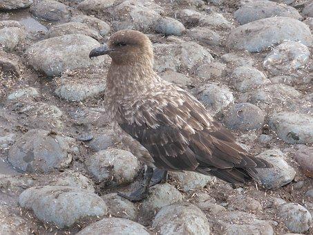 Skua, Southern Ocean, Antarctica, Bird, Bird Of Prey