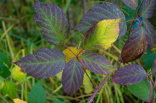 Leaves, Fall Leaves, Thorns, Blackberry, Colored