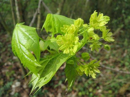 Acer Platanoides, Norway Maple, Tree, Blossom, Macro