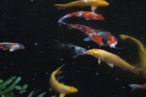 Carp, Japan, Japanese Style, Fish, Lb, Decoration