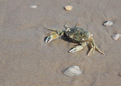 Crab, Beach, Water, Sea Animal, Sea, Cancer, Coast