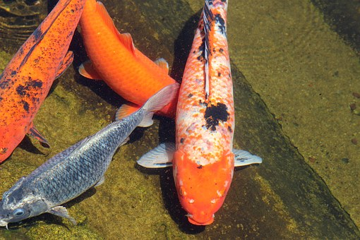Carp, Fish, Color, Colored, In The Lake, Water, Natural