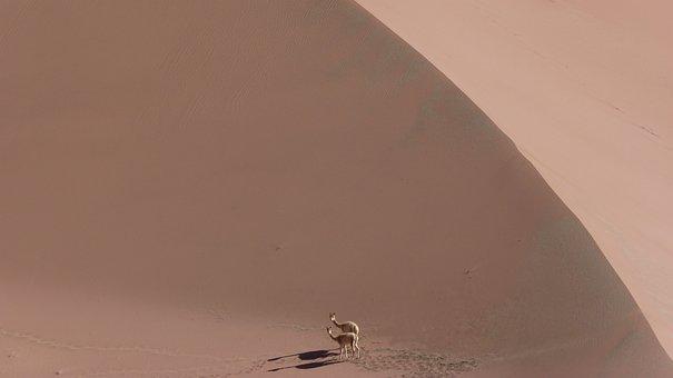 Vicuña, Vicunia, Animal, Dry, Dunes, Desert