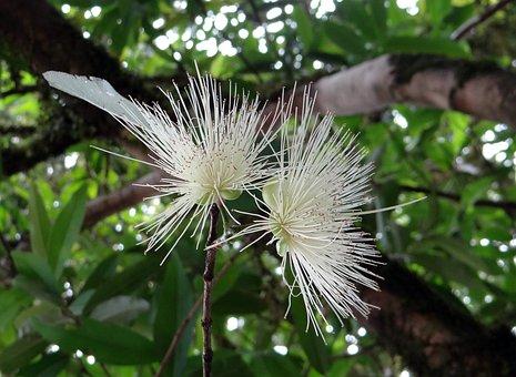 Flower, Flora, Malabar Plum, Rose Apple, Malakkacampa