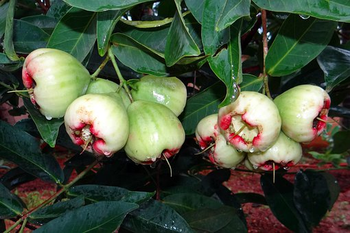 Rose Apple, Tropical, India, Fruits, Fruit, Juicy, Food