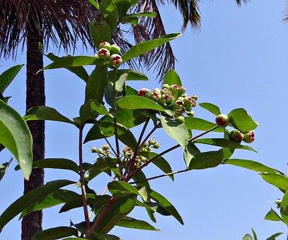 Rose Apple, Syzygium Jambos, Immature, Fruit, Tropical